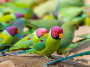 Plum Headed Parakeet Images