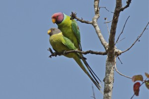 Plum Headed Parakeet Male and Female