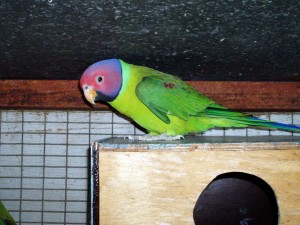 Plum Headed Parakeet Nesting Box