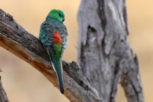 Red Rump Parakeet