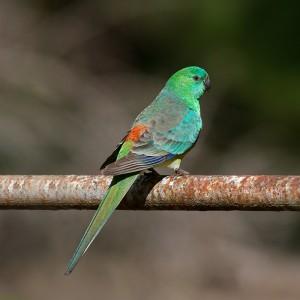 Red Rump Parakeet Bird