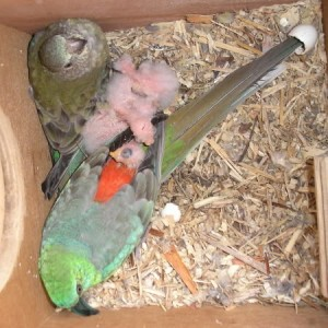 Red Rump Parakeet Chicks