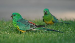 Red Rump Parakeets Images