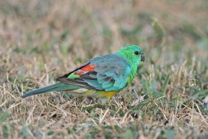 Red Rump Parakeets Photos