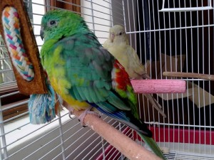 Red Rump Parakeets Pictures
