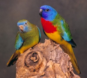 Scarlet Chested Parakeet