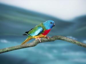 Scarlet Chested Parakeet Bird