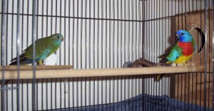 Scarlet Chested Parakeet Cage Setup