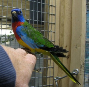 Scarlet Chested Parakeet Nest