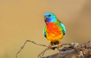 Scarlet Chested Parakeet Pictures