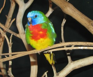Scarlet-Chested Parakeet
