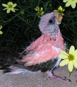 Baby Bourke's Parakeet