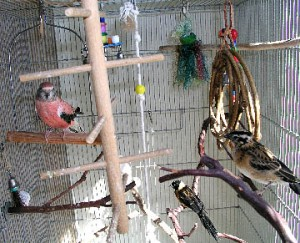 Bourke's Parakeet Cage