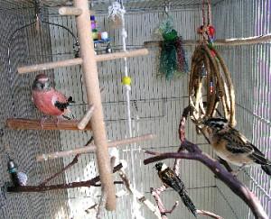 Bourke's Parakeet Cage