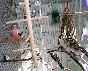 Bourke's Parakeet Facts, Behavior As Pets, Care, Pictures