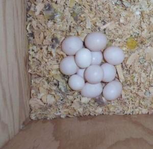Bourke's Parakeet Eggs