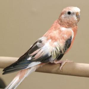 Bourke's Parakeet Images