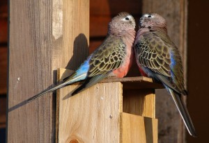Bourke's Parakeet Nest Box