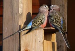 Bourke's Parakeet Nest Box
