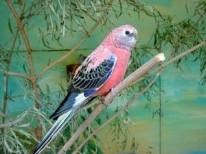 Bourke's Parakeet Pictures