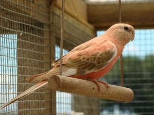 Bourke's Parakeets