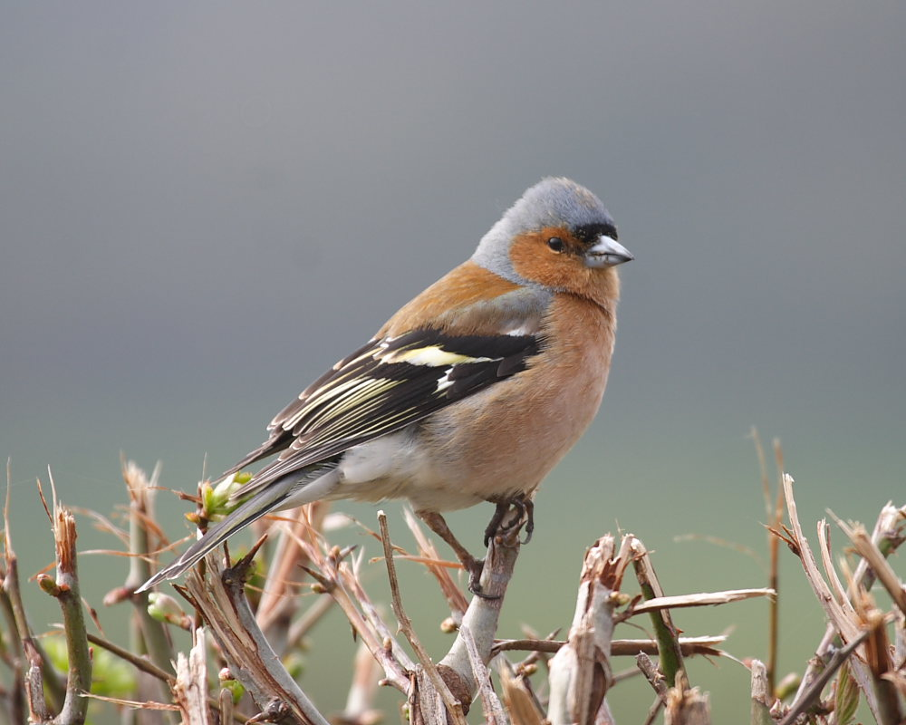 Common Chaffinch Facts Behavior As Pet Care Housing