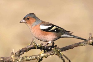 Chaffinch Images