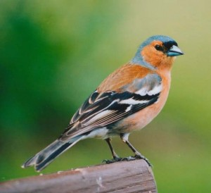 Chaffinch Pictures