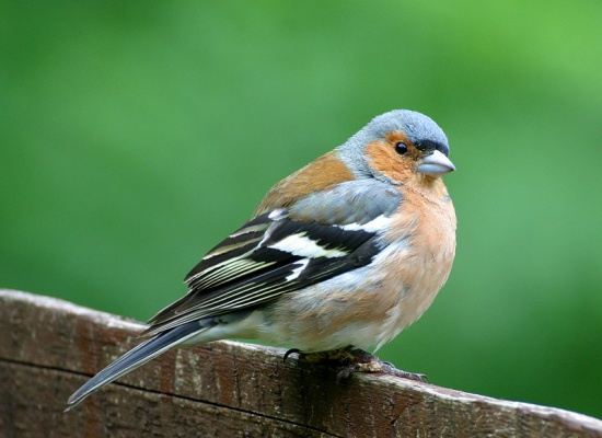 common chaffinch facts behavior as pet care housing pictures