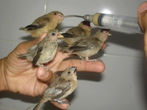 Java Sparrow Babies