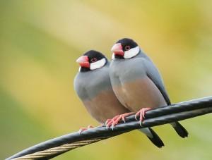 Java Sparrow Birds