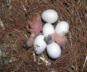 Java Sparrow Eggs