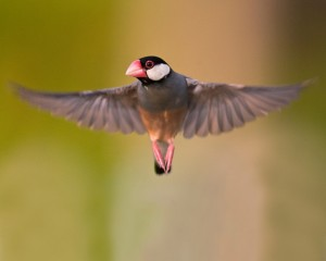 Java Sparrow Flying