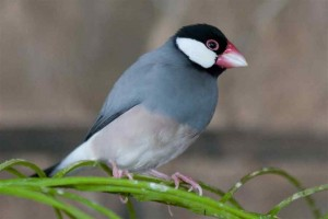 Java Sparrow Images