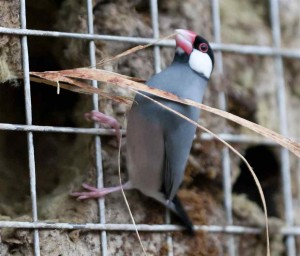 Java Sparrow Nest