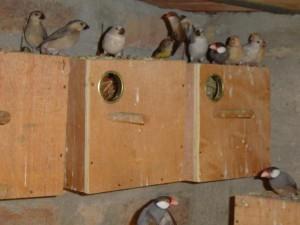 Java Sparrow Nest Box