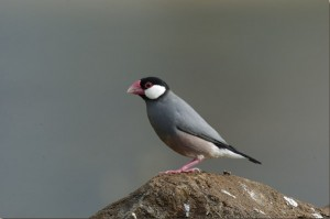 Java Sparrow Pictures