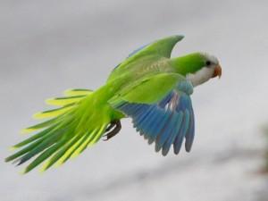 Quaker Parrots of San Leon
