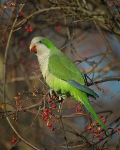 Monk Parakeet Images
