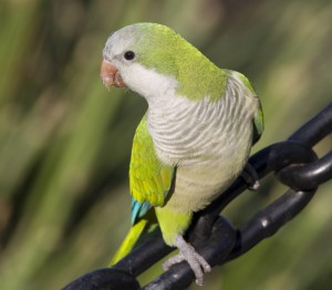 Monk Parakeet Pictures