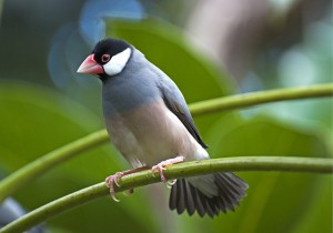 Pictures of Java Sparrow