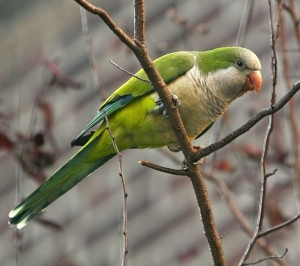 Pictures of Quaker Parrot