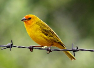 Pictures of Saffron Finch