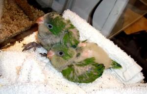 Quaker Parrot Baby