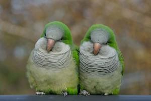 Quaker Parrot Birds