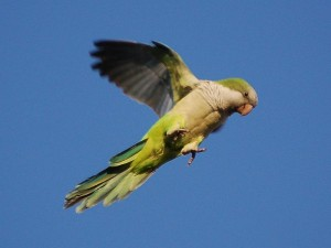 Quaker Parrot Flying