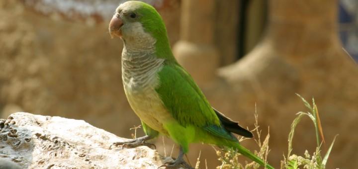 Quaker Parrot Images