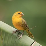 Saffron Finch Bird