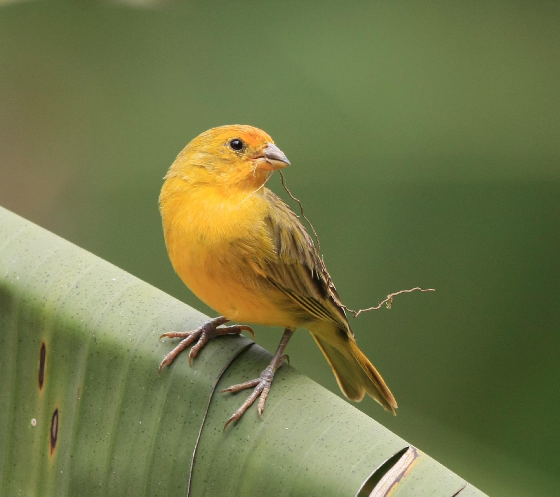 Saffron Finch Facts, P...