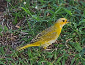 Saffron Finch Female